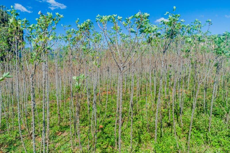 Yuca кассавы, поле на близко Vinales, Cub маниока стоковые фото