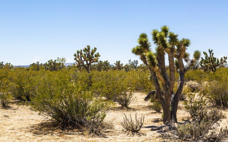 Yucas cerca de Las Vegas, Nevada fotos de archivo libres de regalías