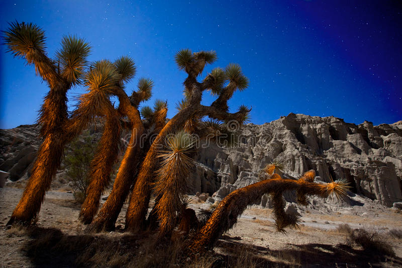 Yucas con el cielo nocturno estrellado imagen de archivo libre de regalías