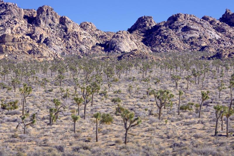 Yucas en el desierto foto de archivo