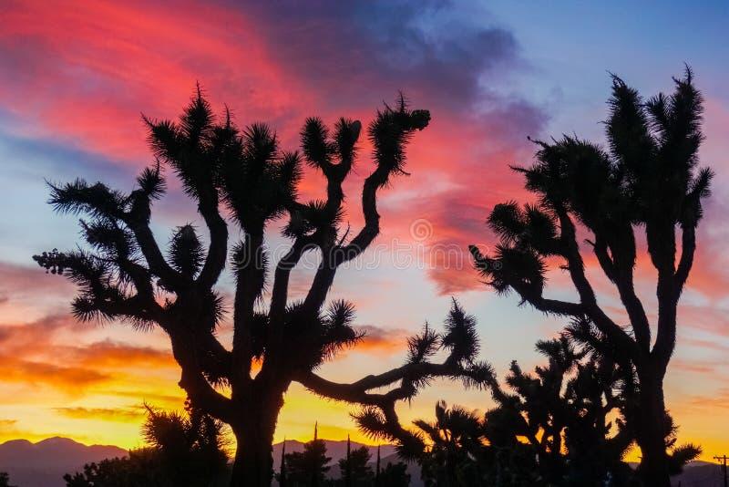 Yucas en un fondo colorido de la puesta del sol, Joshua Tree National Park, California imagen de archivo