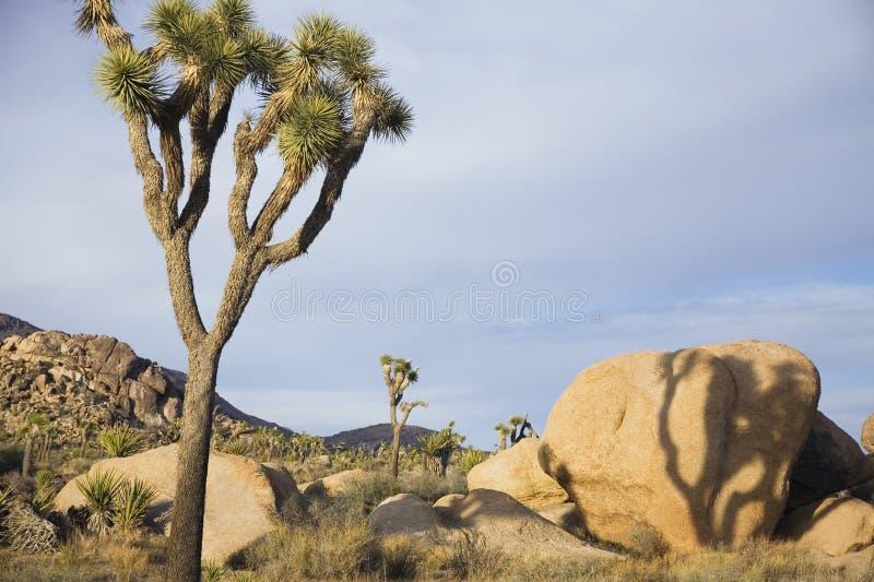 Yucas y rocas en desierto foto de archivo