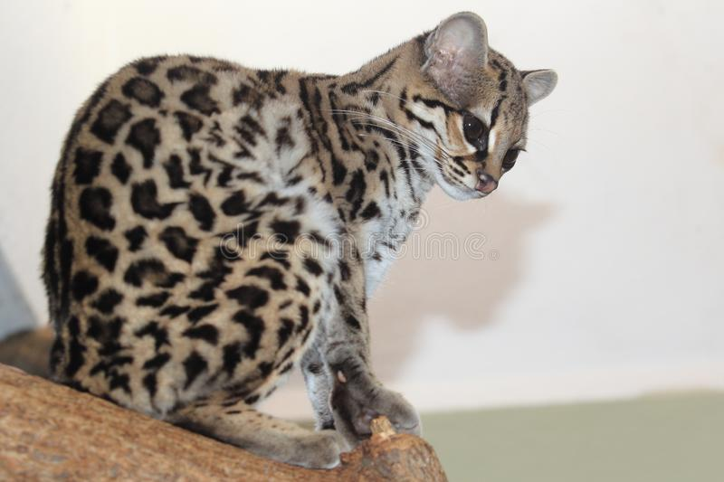 Yucatan margay photos stock