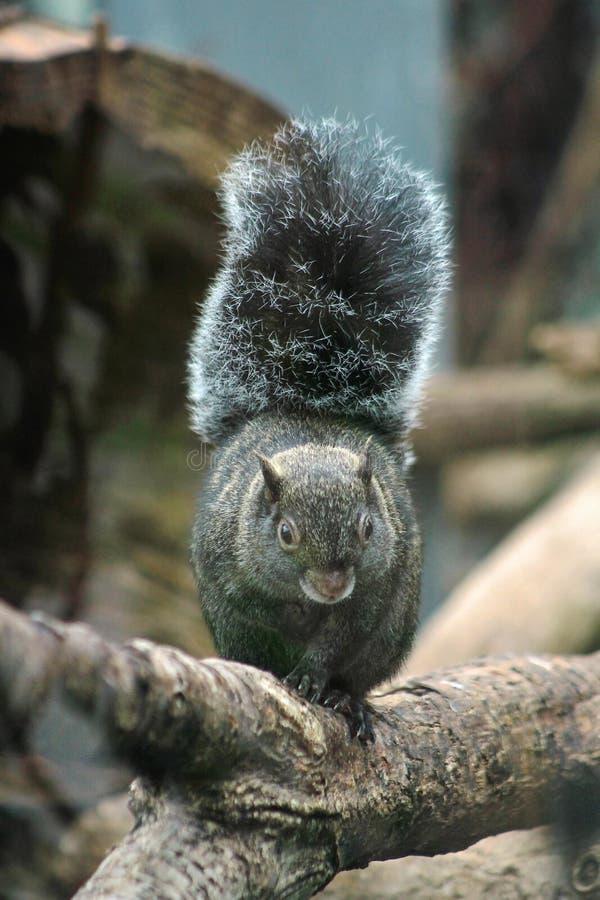Yucatan Squirrel royaltyfri bild