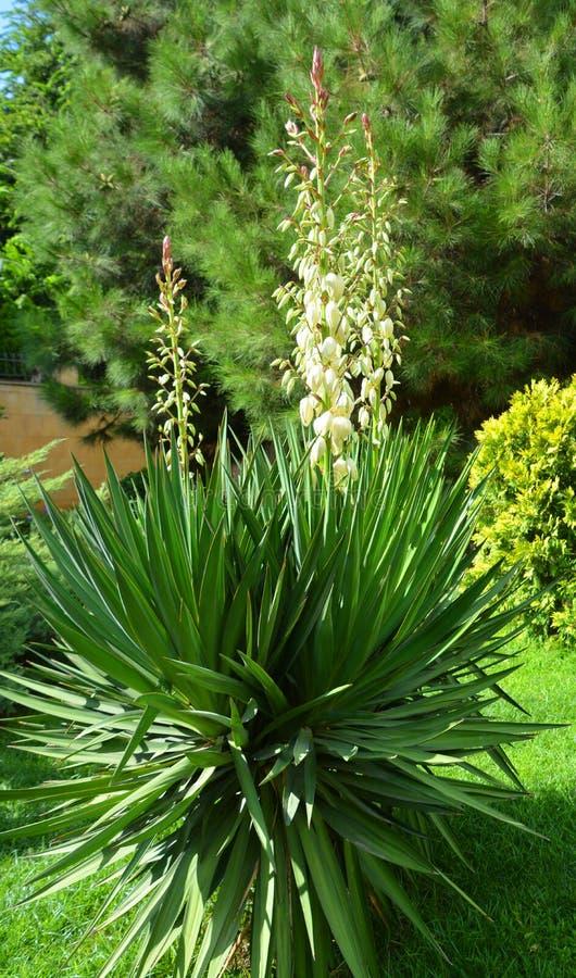 Yucca är en genus av eviga buskar och träd royaltyfria foton