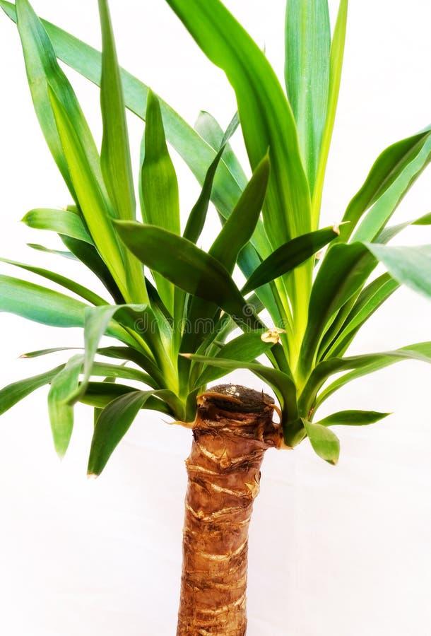 Yucca fotografie stock