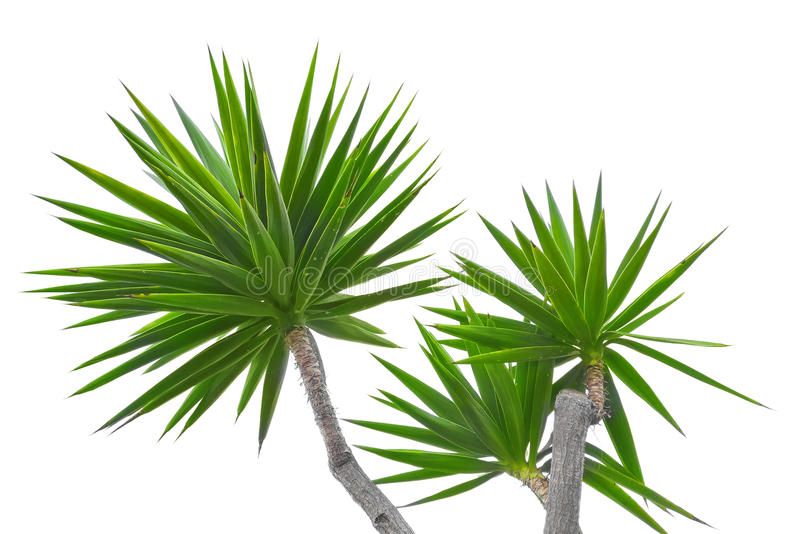 Yucca image stock