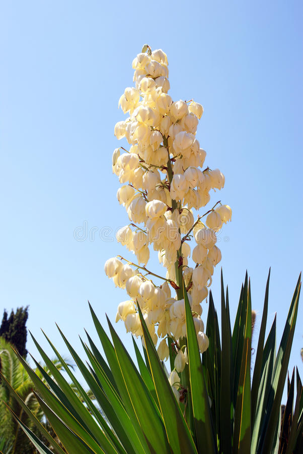Yucca στοκ φωτογραφία