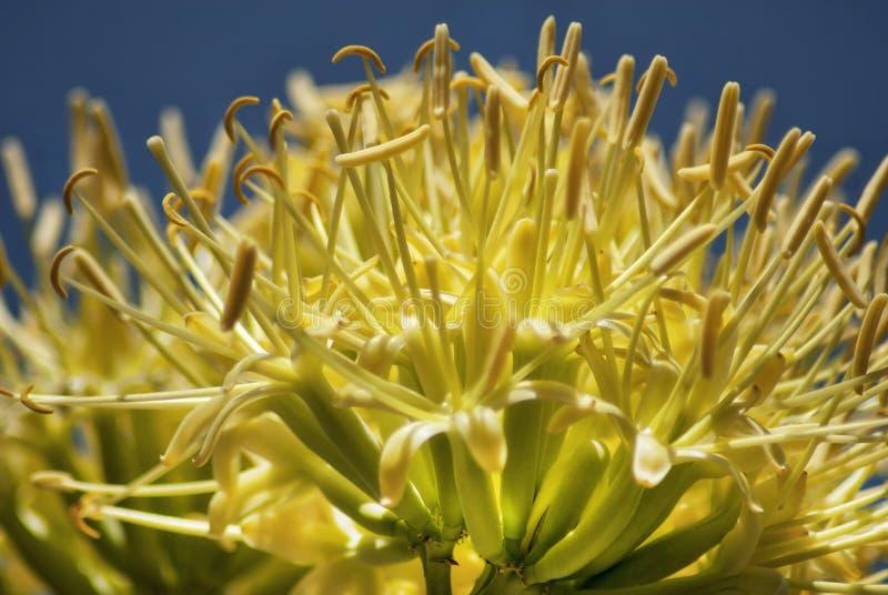 Yucca fotografie stock libere da diritti