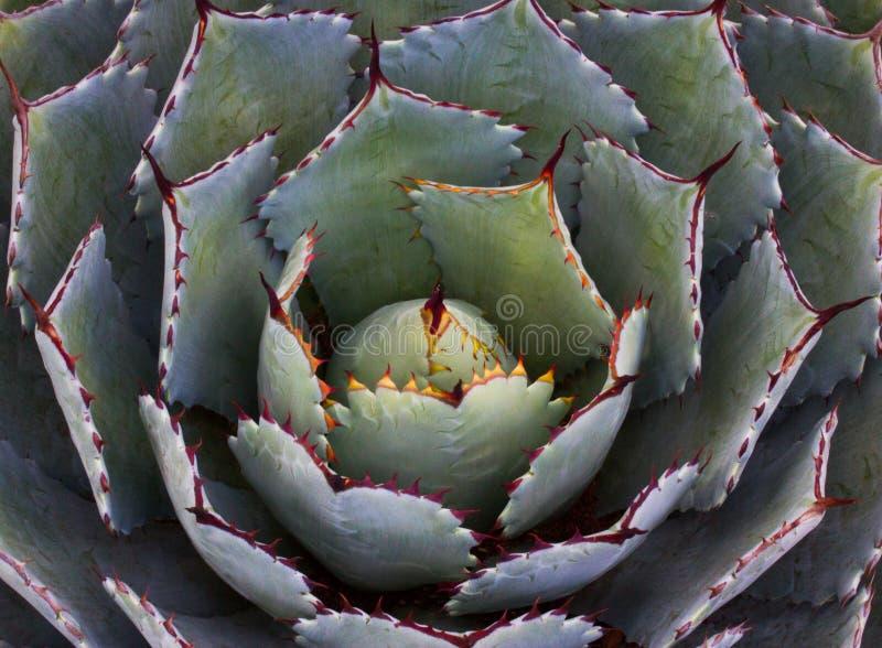 Yucca fotografia stock libera da diritti