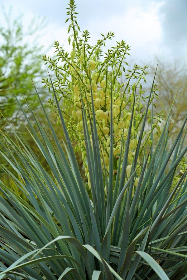 yucca photographie stock libre de droits