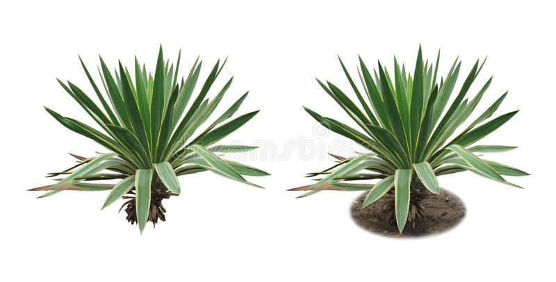 yucca image libre de droits