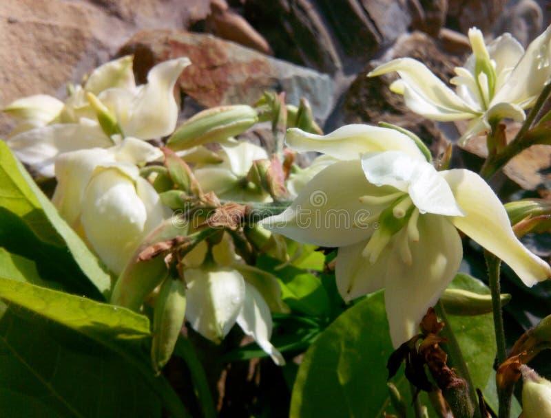 yucca royalty-vrije stock afbeeldingen
