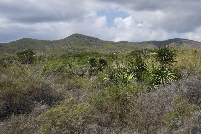 Yucca aloifolia-planten stock foto's