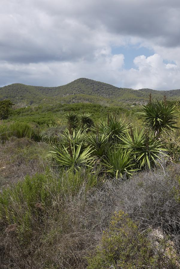 Yucca aloifolia-planten royalty-vrije stock afbeelding
