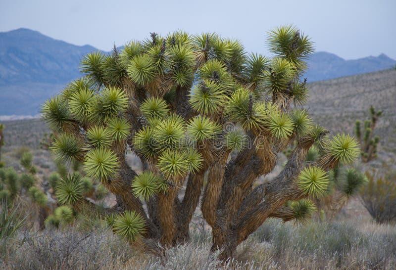 Yucca de désert en fleur photo libre de droits