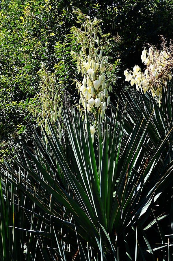 yucca de floraison sur un lit de fleur image stock