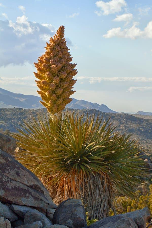 Yucca de Mojave (schidigera de yucca) au coucher du soleil photos libres de droits
