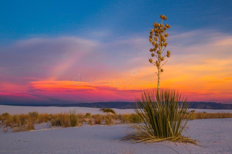 Yucca de Soaptree photos libres de droits