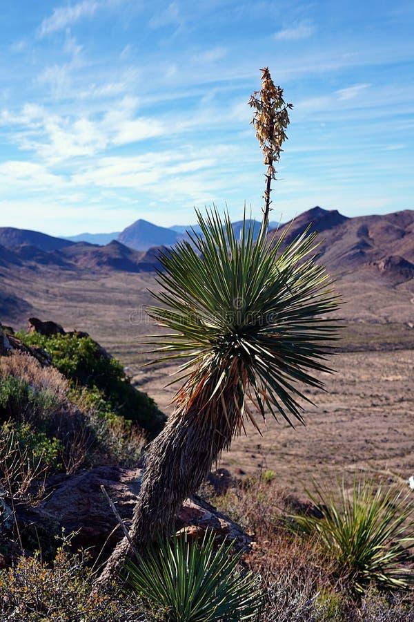 Yucca die in de Woestijn bloeien stock fotografie