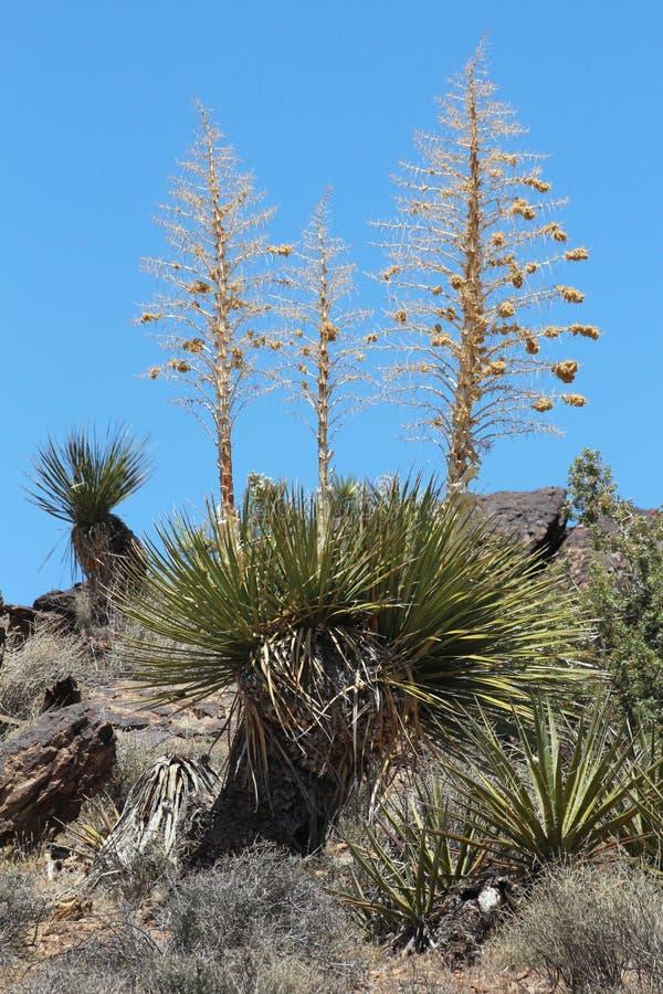Yucca do Mojave fotografia de stock