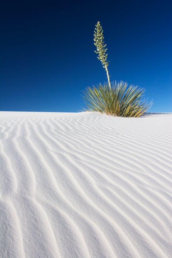 Yucca en sable blanc photographie stock libre de droits