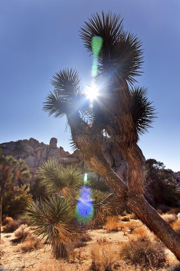 yucca för tree för sun för brevifoliasignalljusjoshua park fotografering för bildbyråer