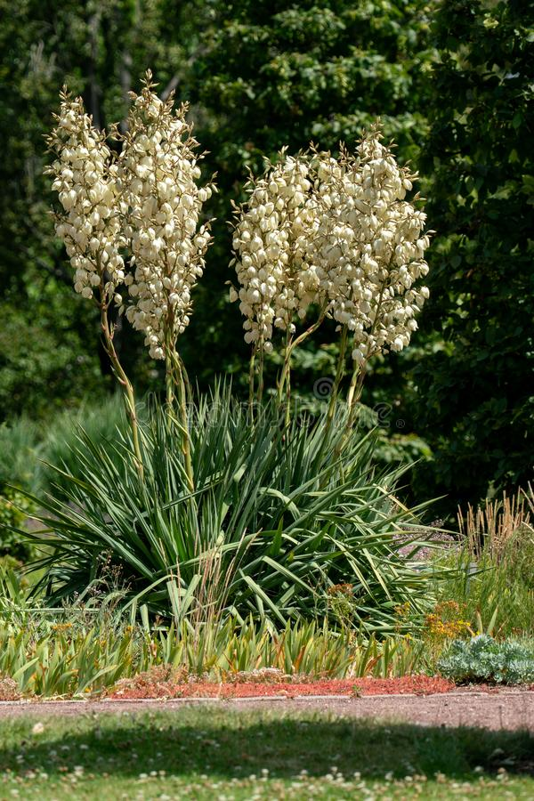 Yucca filementosa blooming in bright sunshine. Yucca filamentosa in a summer flower bed in bright sunshine royalty free stock images