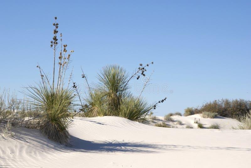 Yucca-Kaktus-Anlagen lizenzfreie stockfotos