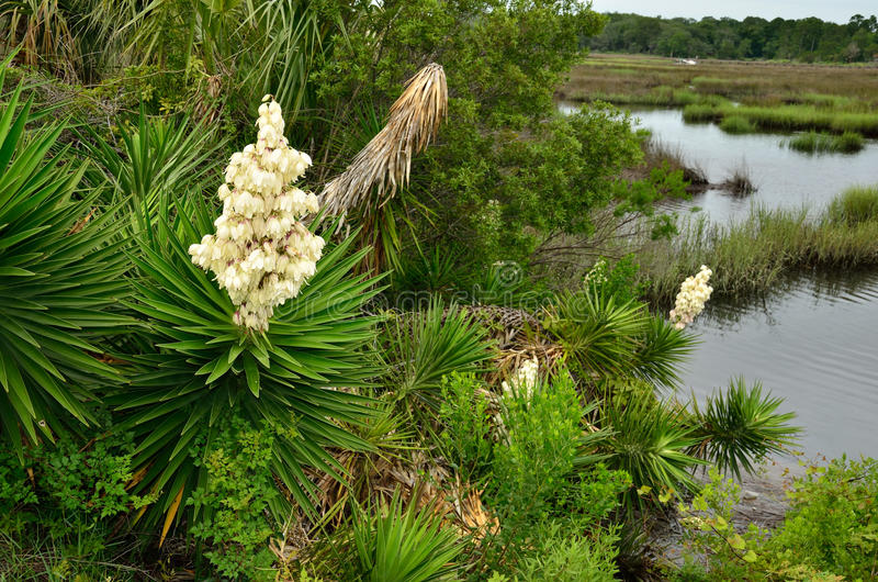 Yucca palm trees in bloom stock photos