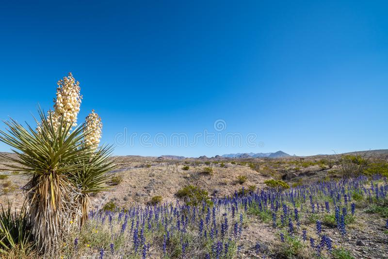Yucca plant and blue bonnets on the desert floor. In Big Bend National Park with bright spring blue sky royalty free stock photo