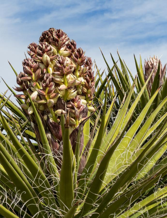 Yucca plant, new blooms. Early Spring, new blooms on the Yucca plant royalty free stock photo