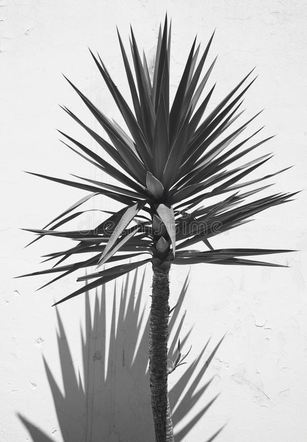 Yucca plant over a white wall with shadow. Spain stock photos