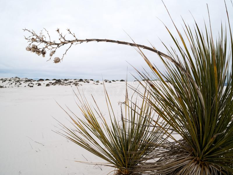 Yucca plant at White Sands royalty free stock photos
