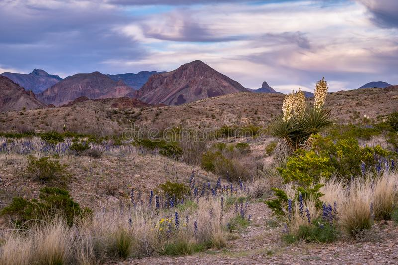 Yucca plants and blue bonnets dot the desert landscape. In front of the Big Bend mountain range stock photos