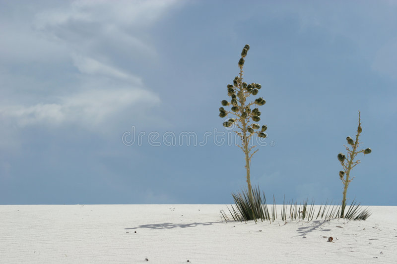 Yucca plants in white sand dunes stock image