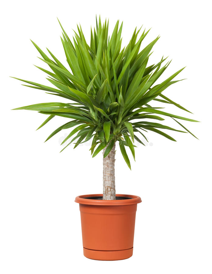Free Yucca Potted Plant Isolated Royalty Free Stock Photo - 11663745