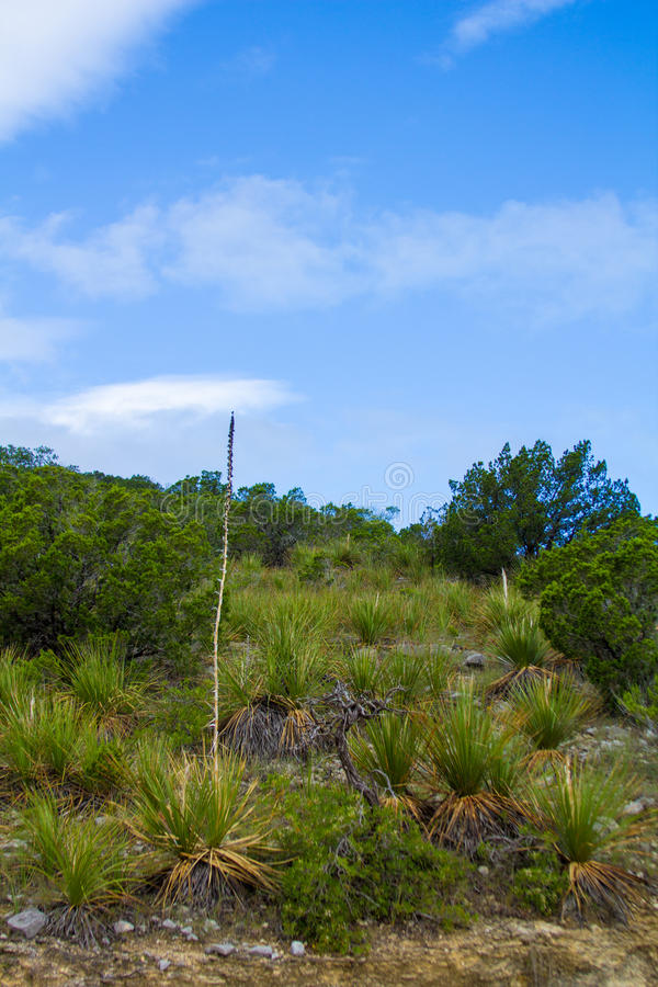Download Yucca stalk stock photo. Image of blue, tree, hillside - 41367466