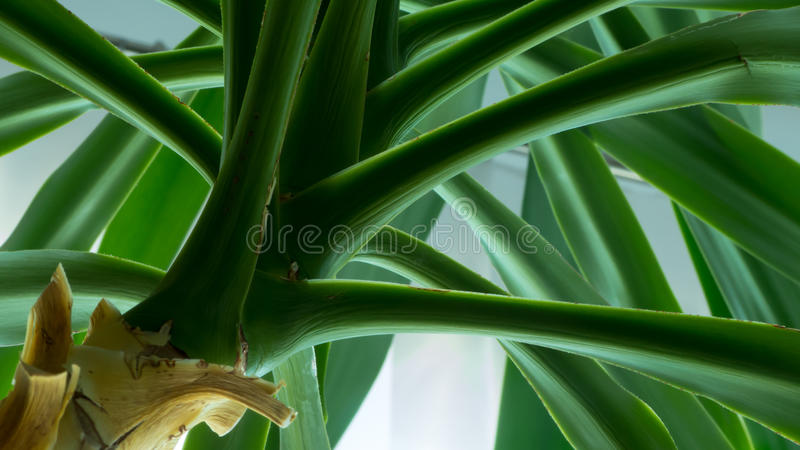 Yucca tree abstract royalty free stock image