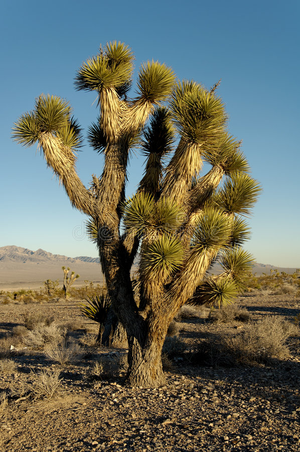 Yucca trees stock photography