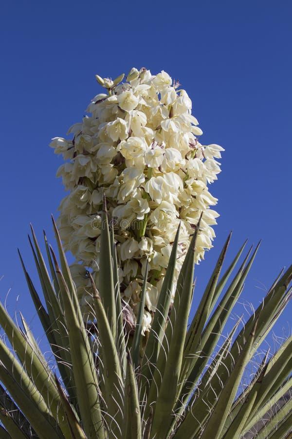 Yuccaanlage in der Blüte stockbilder