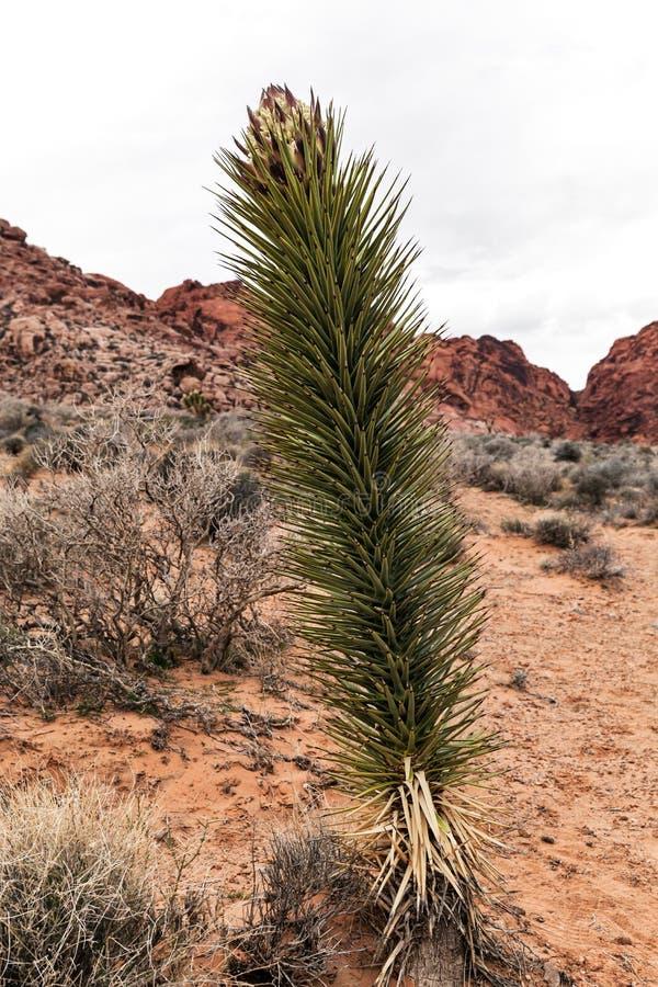 Yuccaanlage in der Blüte an der roten Felsen-Schlucht in Nevada, Natur in der Wüste lizenzfreies stockfoto