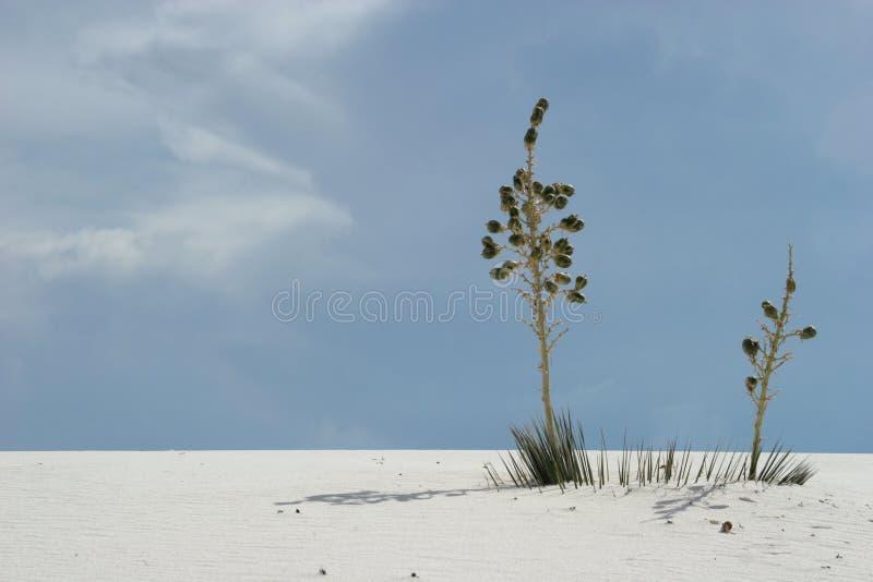 Yuccaanlagen in den weißen Sanddünen stockbild