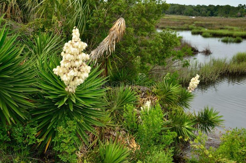 YuccaPalmen in der Blüte stockfotos