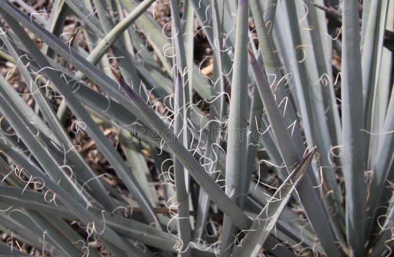 Yuccastekels en Krullen royalty-vrije stock afbeeldingen
