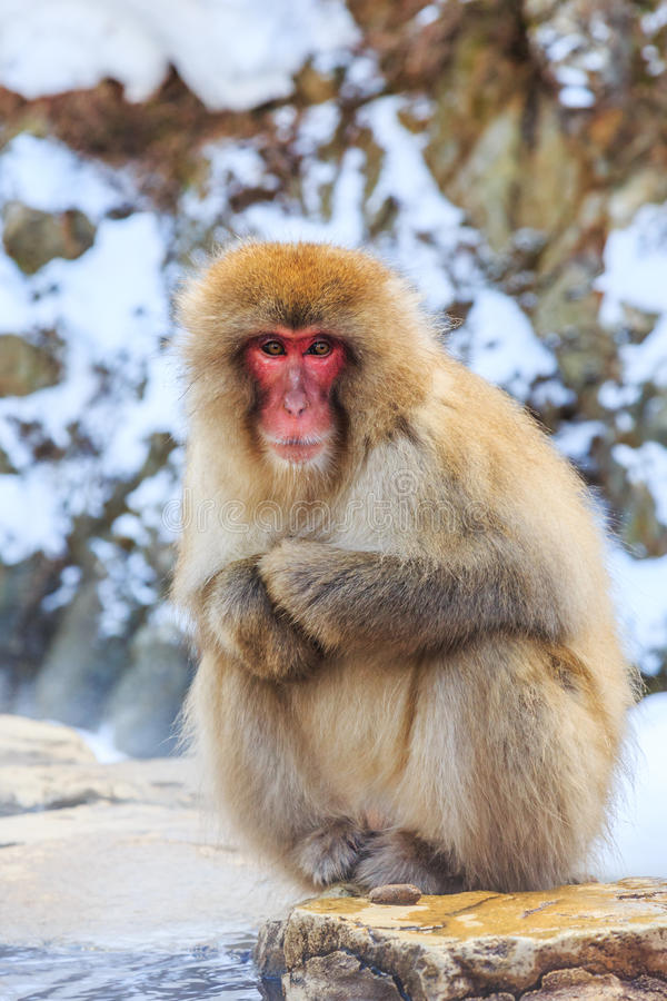 Yudanaka. Nagano Japan. Snow monkey at a natural onsen hot spring, located in Jigokudani Park, Yudanaka. Nagano Japan royalty free stock photos