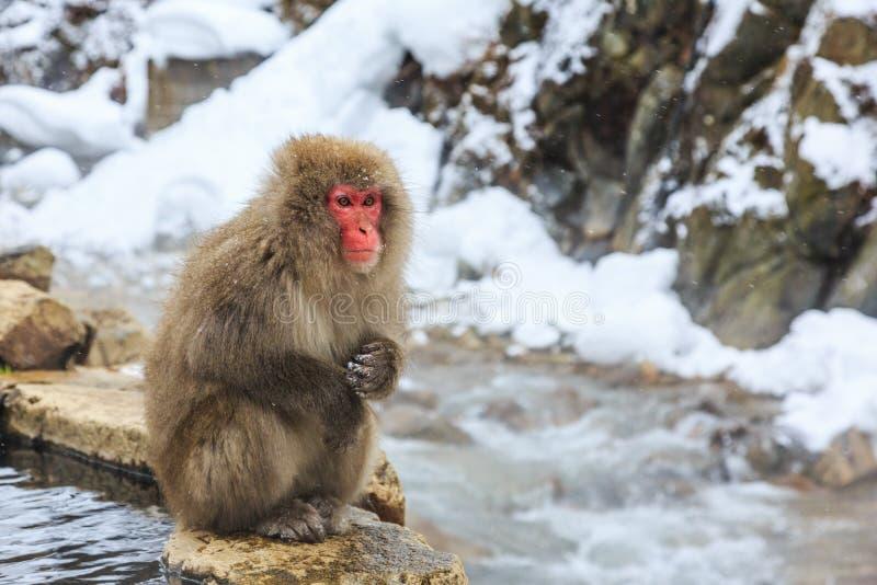 Yudanaka. Nagano Japan. Snow monkey at a natural onsen hot spring, located in Jigokudani Park, Yudanaka. Nagano Japan royalty free stock image