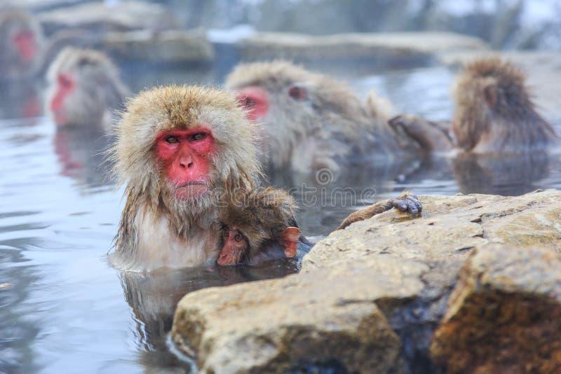 Yudanaka. Nagano Japan. Snow monkeys in a natural onsen hot spring, located in Jigokudani Park, Yudanaka. Nagano Japan stock photos