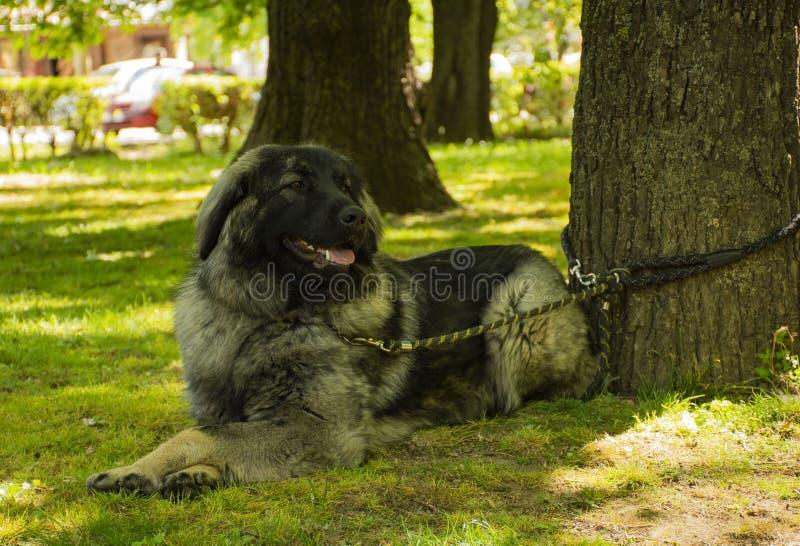 Yugoslavian Shepherd Dog , dog breed. In park stock photos