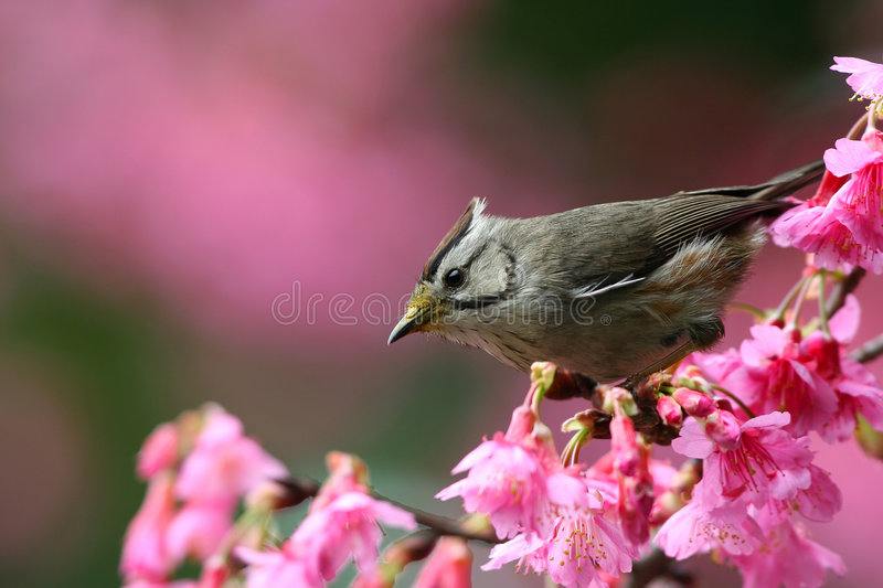 Yuhina formosan photographie stock
